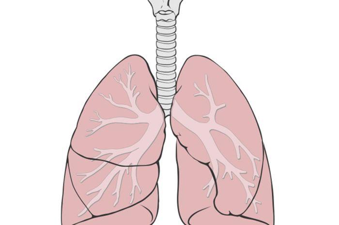 Diagram paru-paru manusia.   Patrick J. Lynch/Wikimedia Commons