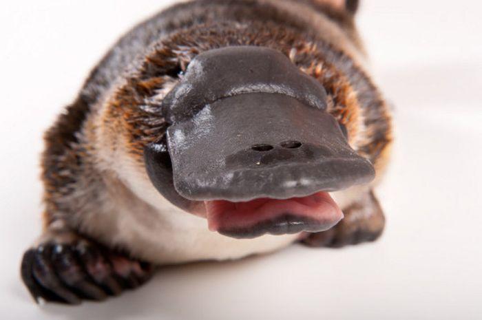 4100 Gambar Hewan Mamalia Platypus Terbaru