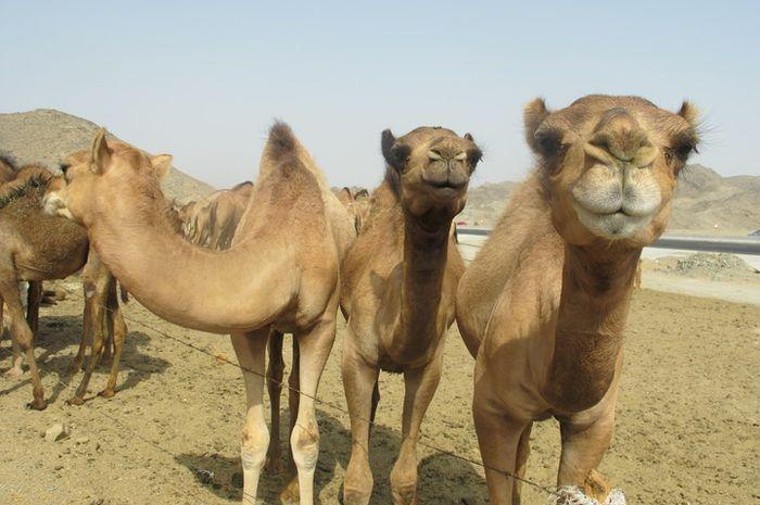 Unta adalah hewan tertangguh dan andalan suku padang pasir. Di tepi jalan penghubung Mekkah-Madinah
