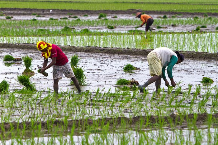 Petani mulai menanam petakan sawah di Dusun Bojong Mekarwangi, Desa Cilamaya Girang, Subang, Jawa Ba