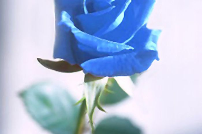Benarkah Mawar Biru Menggeser Popularitas Mawar Merah National Geographic