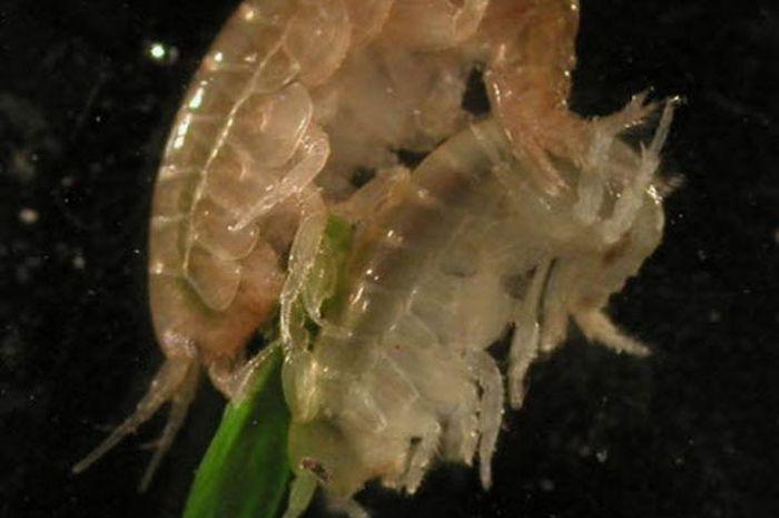 Limbricii - paraziti intestinali - Cum să tratezi un parazit în organism