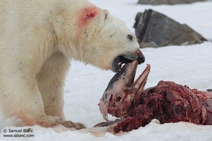 Beruang Kutub Diketahui Gemar Menyimpan Hasil Buru