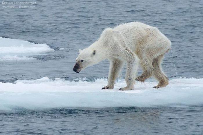 Beruang kutub betina yang kurus karena kelaparan.