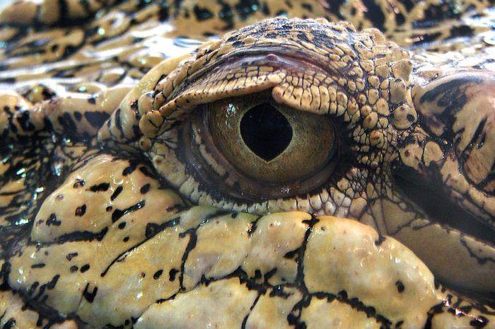 <i>Crocodylus porosus</i> atau buaya air asin