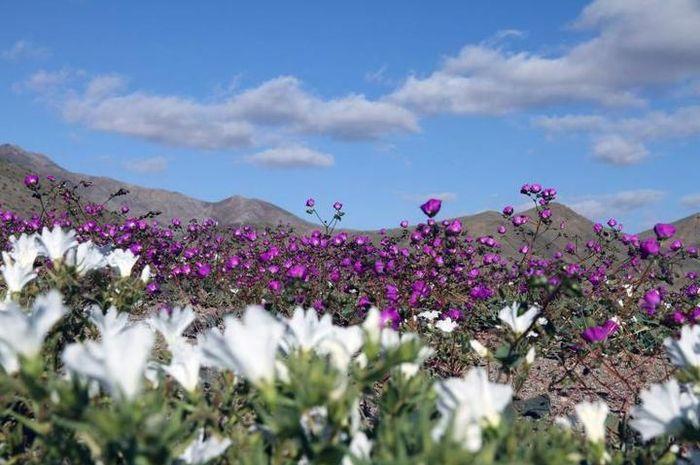 Bunga-bunga bermekaran sesuai dengan pemanasan periodik El-Nino.