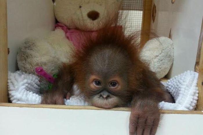 Puspa, bayi orangutan korban penyelundupan satwa liar yang berhasil digagalkan di Kalimantan.