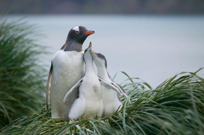 Penguin Gentoo
