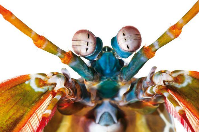 Udang ronggeng <i>Odontodactylus scyllarus</i> memiliki kelimpahan reseptor warna yang m