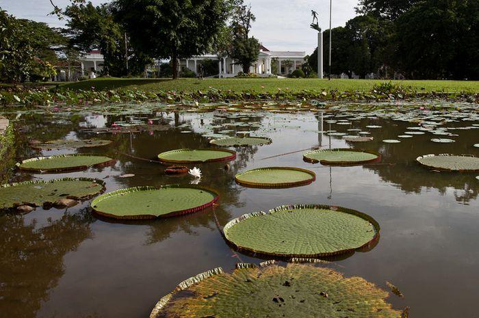 Teratai Raksasa atau atau <i>Victoria amazonica</i> di Kolam Gunting, Kebun Raya Bogor d