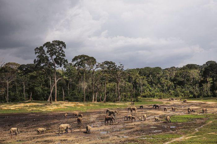 Gajah-gajah hutan berkumpul di Suaka Khusus Dzanga-Sangha, sebuah suaka margasatwa bagi hewan ini.