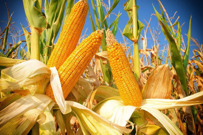 Badan Kesehatan Dunia menobatkan jagung sebagai makanan paling baik bagi penderita diabetes.