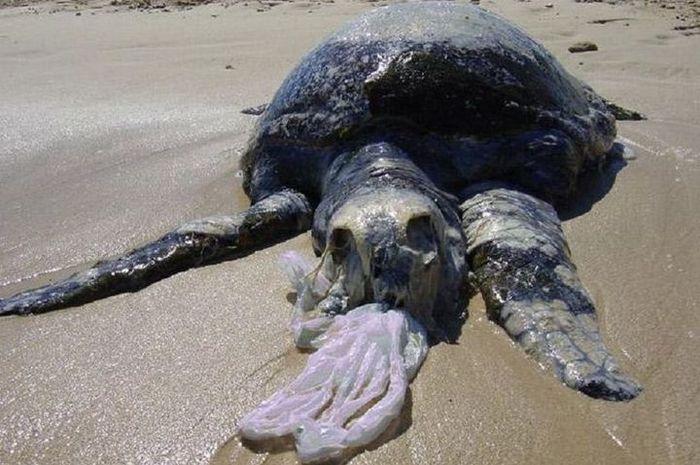 Penyu laut mati akibat tersedak sampah plastik.