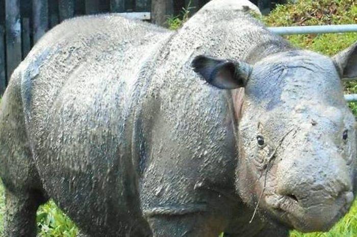 Iman, badak Sumatra betina terakhir di Malaysia, mati akibat kanker.