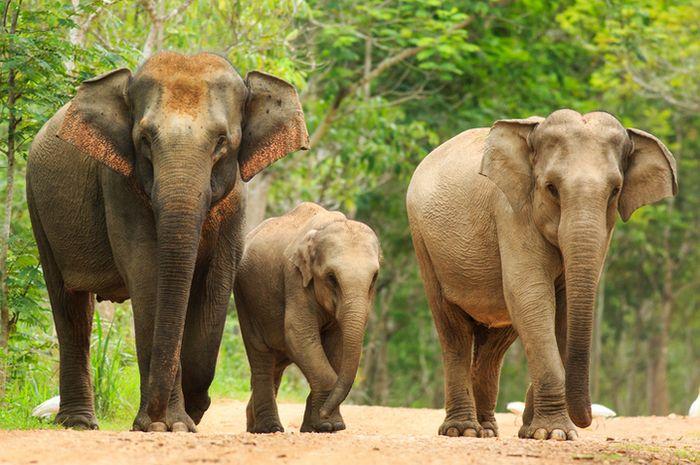 Gajah Asia.