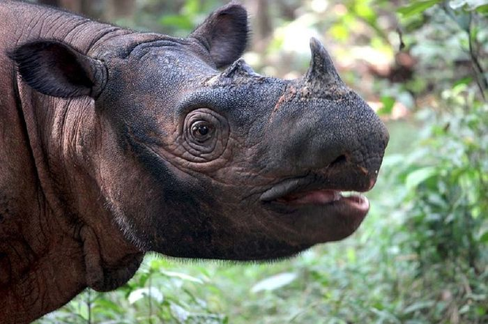 Badak sumatera merupakan satwa langka terancam punah yang dilindungi.