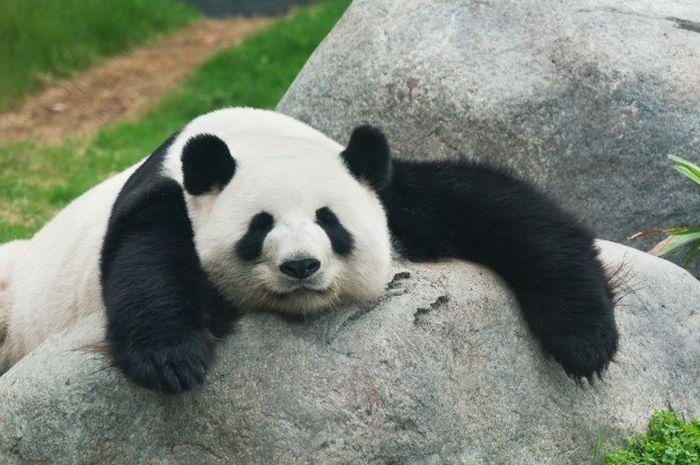 910+ Gambar Ilustrasi Hewan Panda HD Terbaru