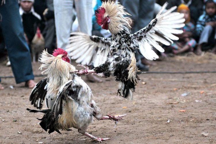 Ternyata, Judi Sabung Ayam Juga Ada di Amerika - Intisari