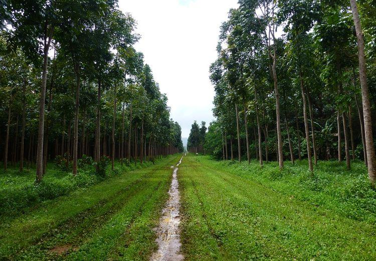 Mahoni, Pohon Keren yang Bisa Menyerap Polusi dan Sejuta Manfaat Lain