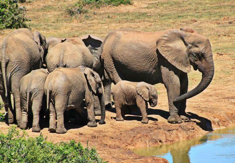 Mempunyai Ukuran Otak yang Besar, Sebagus Apa Ingatan Gajah?