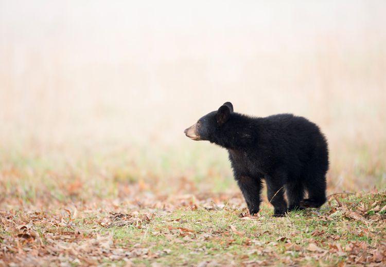 Terpisah dari Induknya, Bayi Beruang Madu Diserahkan ke BKSDA