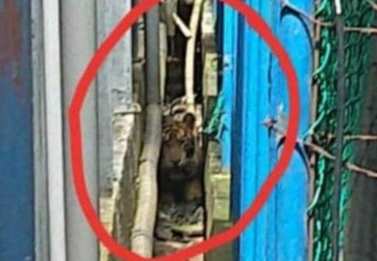 Harimau Sumatera ini Ditemukan Terjebak di Lorong Ruko Pasar