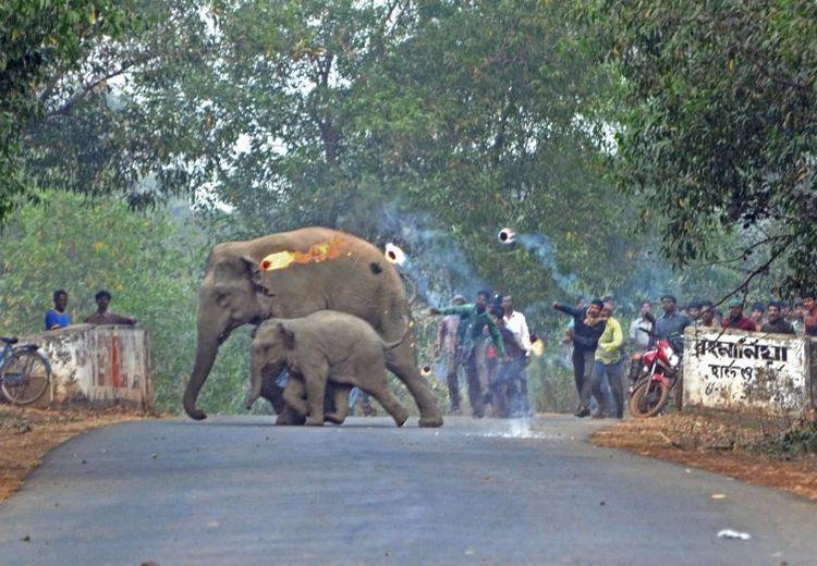 Nasib Mengenaskan Gajah-gajah Tak Berdosa, Diburu Manusia, Diambil Gading, Hingga Dibakar Hidup-hidup