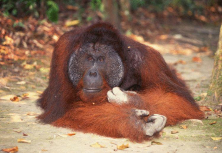 Siapa Sangka, Orangutan Ternyata Memiliki Pengetahuan Obat-Obatan