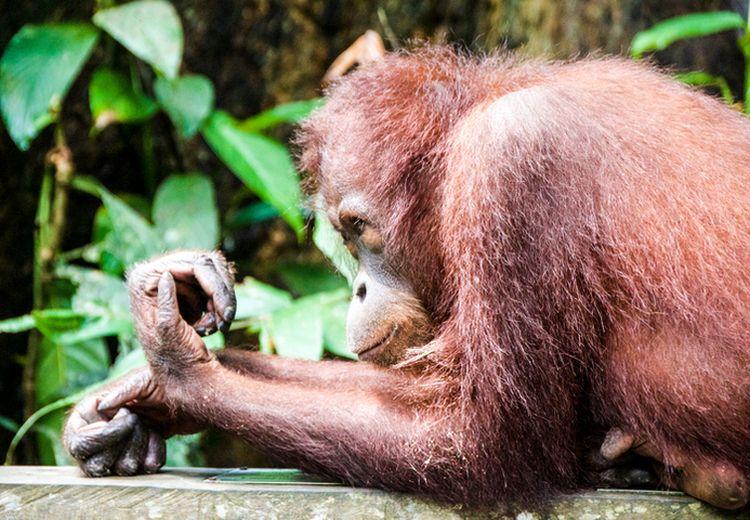 "Tak Tahu Dilindungi Undang-Undang, Warga Kalimantan Pernah Makan Orang Utan ""Enak Dimasak Pedes"""