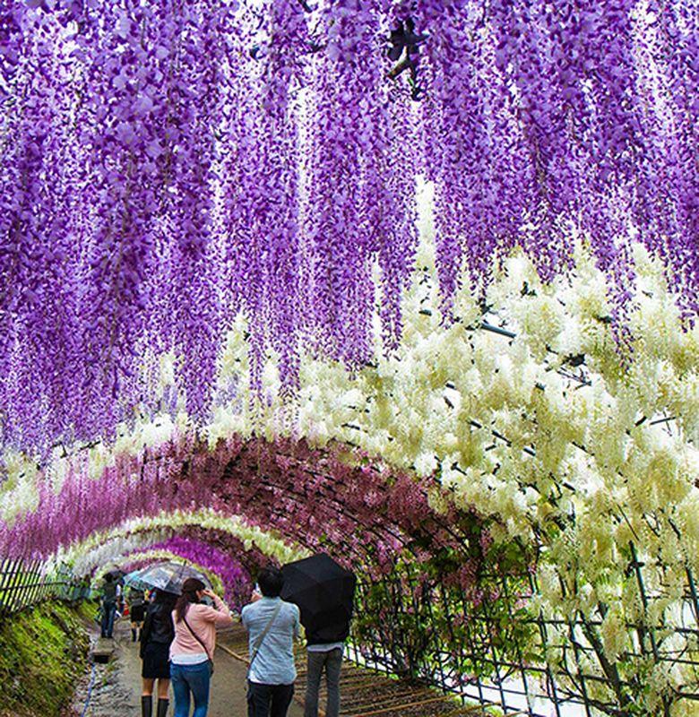 Keindahan Bunga Wisteria Di Jepang Bobo