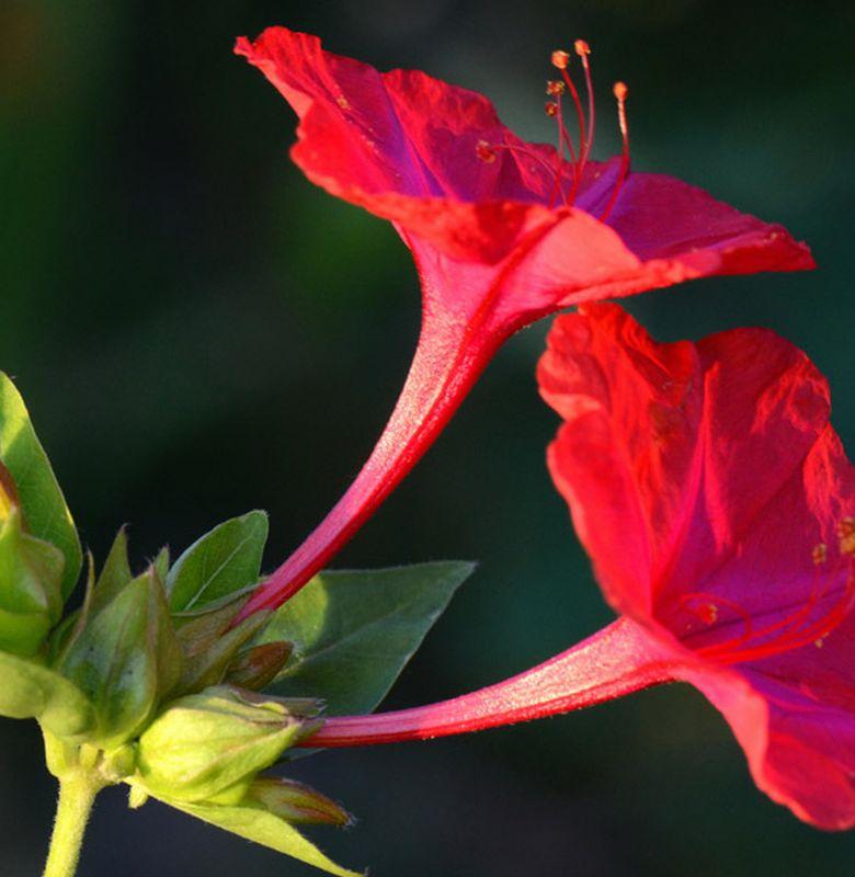 Bunga Tepat Waktu Bobo