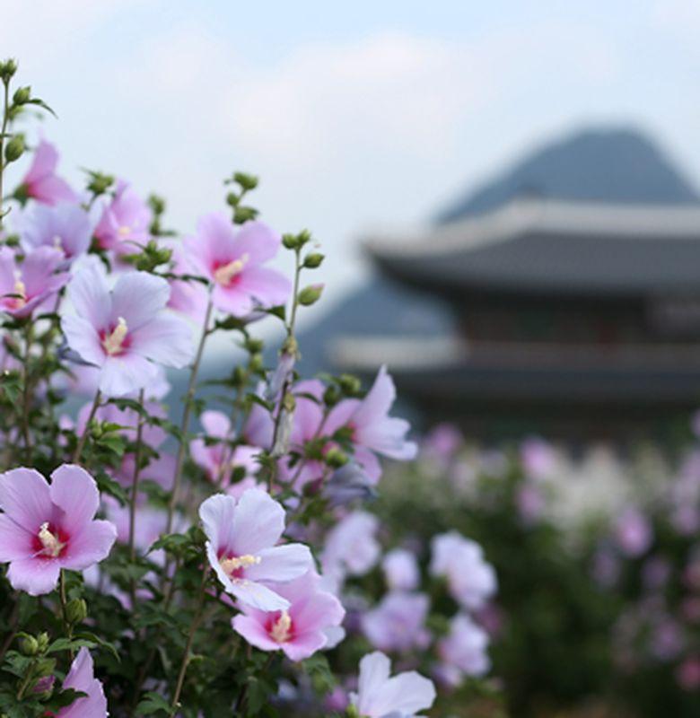 Mugunghwa Bunga Nasional Yang Indah Dari Korea Selatan Bobo