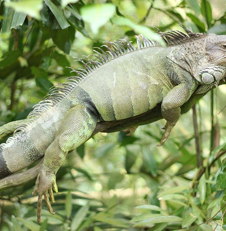 Inilah 6 Perbedaan Bunglon Dan Iguana Bobo