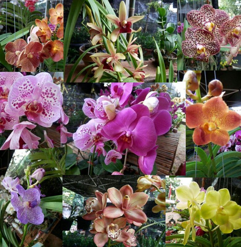 Anggrek Bunga Tropis Yang Cantik Bobo