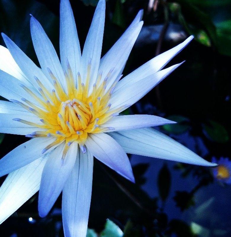 Teratai Biru Bunga Yang Dilarang Di Rusia Bobo