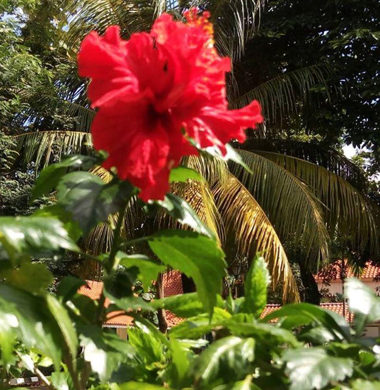 Yuk Belajar Bunga Lengkap Dan Sempurna Bersama Kembang Sepatu Semua Halaman Bobo