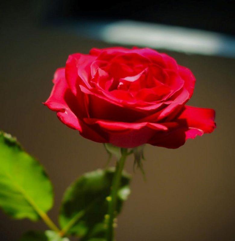 Mengapa Bunga Mawar Mendapat Julukan Ratunya Bunga Semua Halaman Bobo