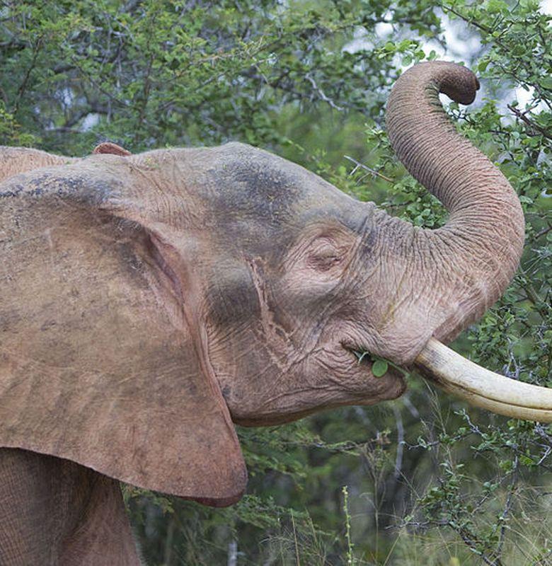 Dijuluki Sebagai Negeri Gajah Putih Apakah Gajah Putih Memang Ada
