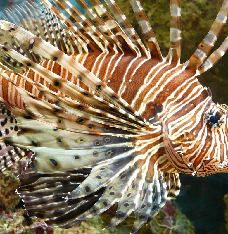 Ikan Lepu Si Cantik Yang Berbahaya Dan Mematikan Semua Halaman Bobo