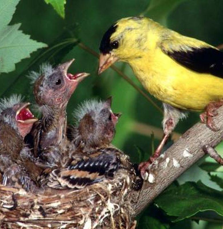 Burung Kedasih Yang Kejam Bobo