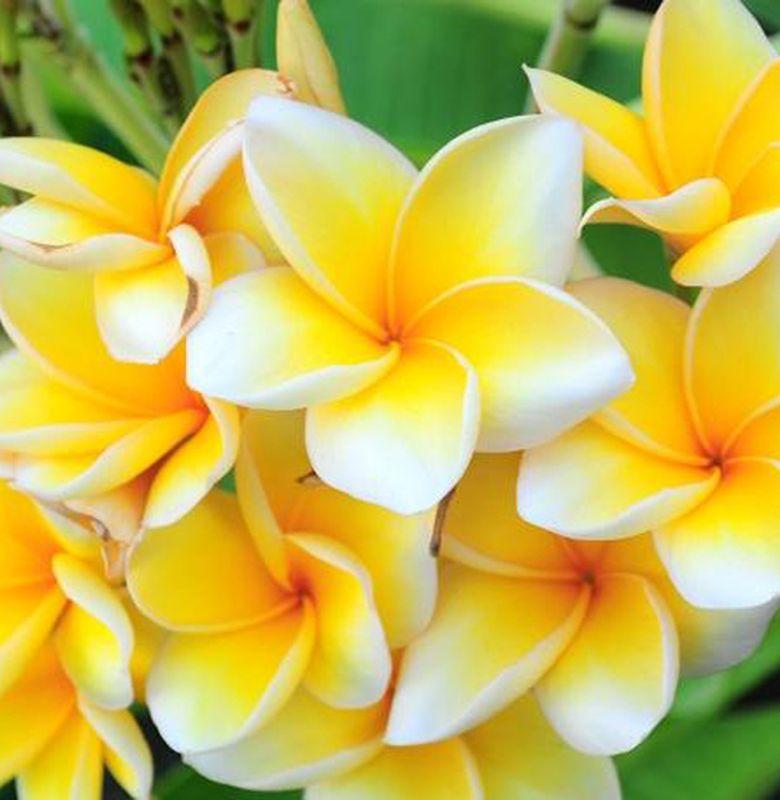 Bunga Kamboja Ternyata Tidak Berasal Dari Kamboja Bobo