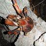 Ketam Kenari, Kepiting Kelapa yang Bukan Kepiting, Hewan Apakah ini?