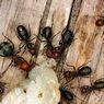 Apa Semua Semut Suka Gula? Makanan Apa Saja yang Disukai Semut?