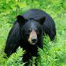 Konflik Manusia dan Beruang Meningkat di Alaska, Apa Penyebabnya?