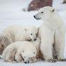 Rencana Berani Para Ilmuwan Untuk Menyelamatkan Beruang Kutub