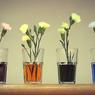 Eksperimen Sederhana: Bunga Putih Bisa Berubah Menjadi Warna-warni