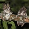 Celepuk Rinjani, Burung Endemik dari Pulau Lombok, Nusa Tenggara