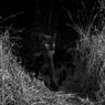 100 Tahun Hidup dalam Bayangan, 'Black Panther' Langka Ditemukan di Afrika Pertama Kalinya