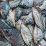 Suka Makan Kotorannya Sendiri, Satu dari 5 Alasan Ikan Mujair Diklaim Berbahaya Bagi Kesehatan Kita