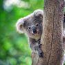 Koala Korban Kebakaran Hutan Australia Dikembalikan Ke Habitatnya